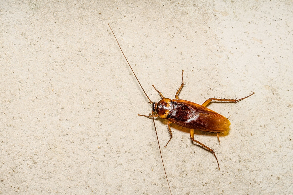 Cockroach Control, Pest Control in St Paul's, Fleet Street, EC4. Call Now 020 8166 9746
