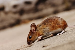 Mouse extermination, Pest Control in St Paul's, Fleet Street, EC4. Call Now 020 8166 9746