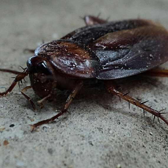 Cockroaches, Pest Control in St Paul's, Fleet Street, EC4. Call Now! 020 8166 9746