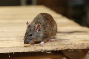 Rodent Control, Pest Control in St Paul's, Fleet Street, EC4. Call Now 020 8166 9746