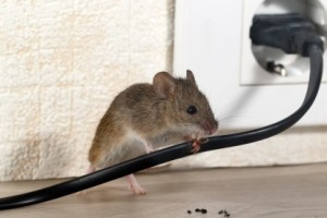 Mice Control, Pest Control in St Paul's, Fleet Street, EC4. Call Now 020 8166 9746